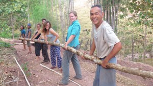 Carrying teak wood   which was just harvested from the farm.